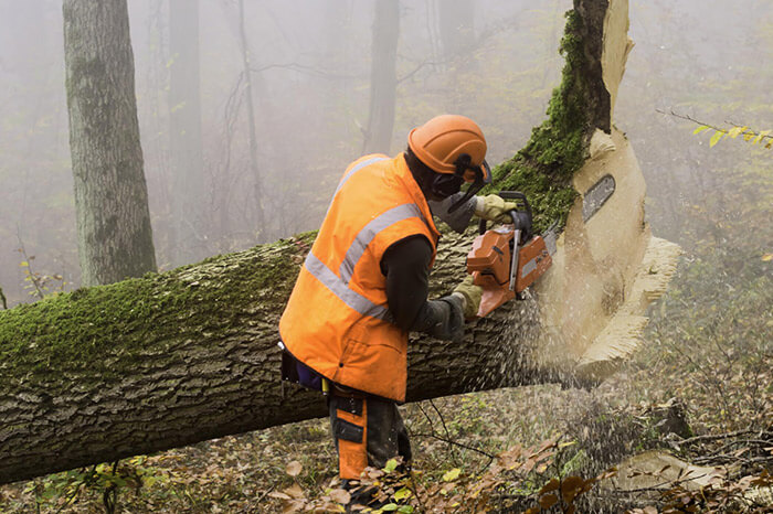 Man Cutting Down Large Tree