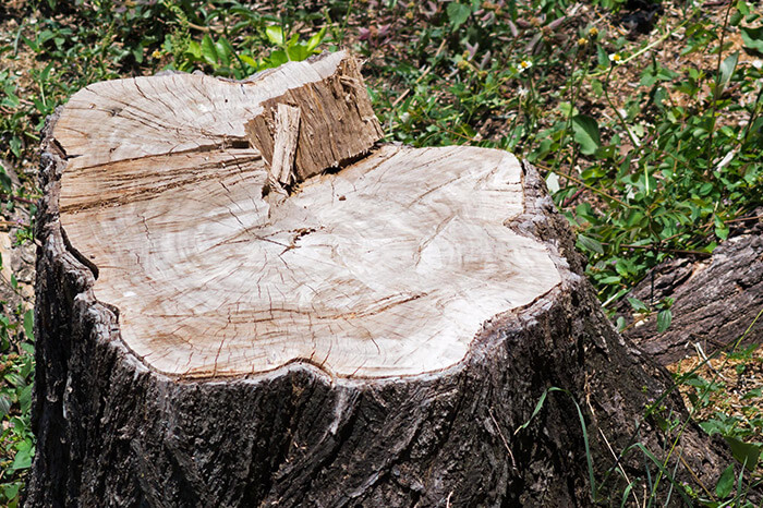 Tree Stump for Grinding and Removal